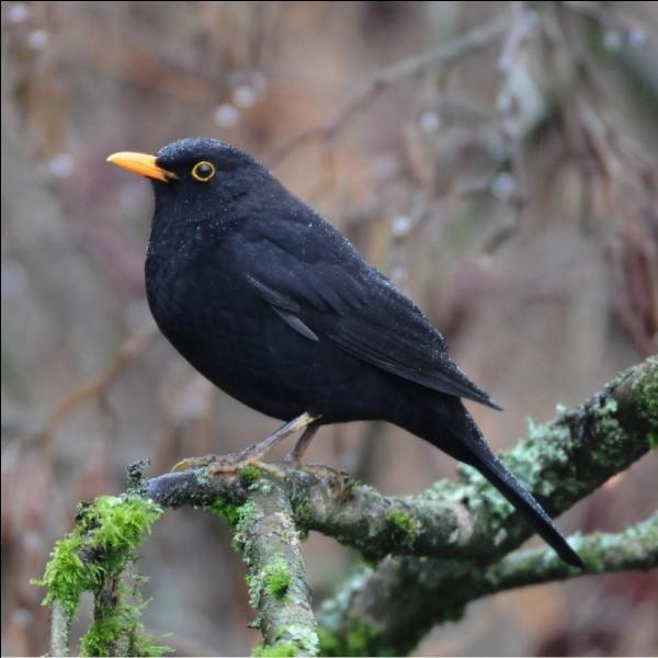 Quizz les oiseaux de belgique 2 quiz photos oiseaux for Oiseaux des jardins belgique