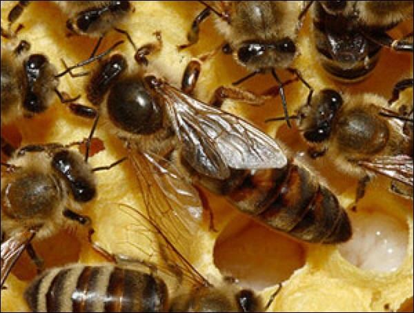 Quelle affirmation est vraie concernant la reine des abeilles :