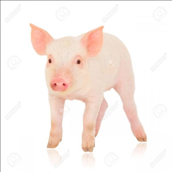 """Traduire le mot """"cochon"""" en anglais."""