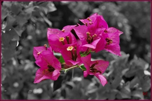 Quel est cet arbuste qui décorera à merveilles les haies et vérandas, et qui fleurit au printemps dans le Midi ?