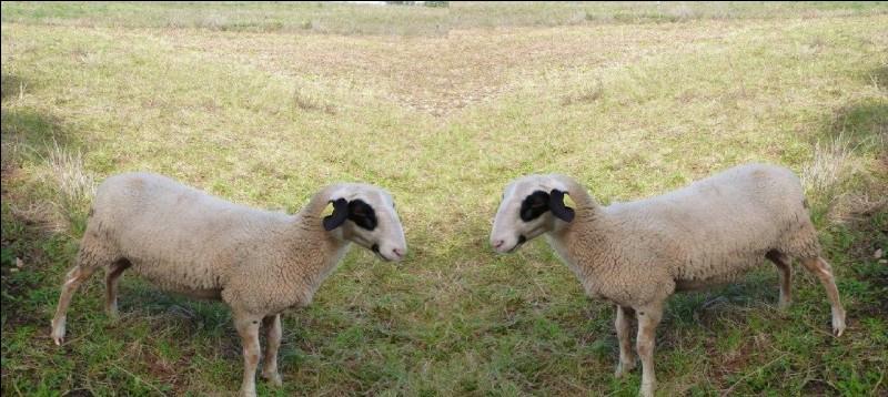 De quelle race sont ces beaux moutons blancs portant lunettes noires ?