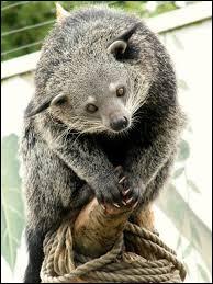 Cet animal est un binturong qui vit dans les forêts d'Asie.