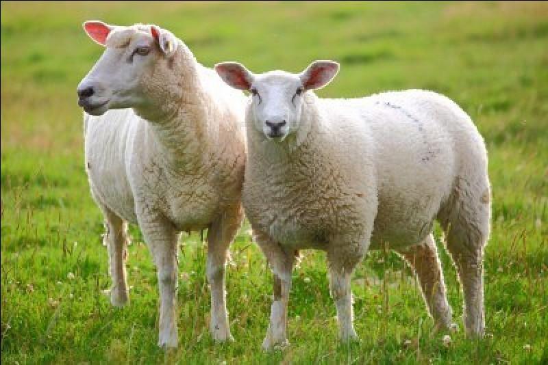 """Comment dit-on """"mouton"""" en anglais ?"""
