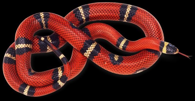"""Comment dit-on """"serpent"""" en anglais ?"""