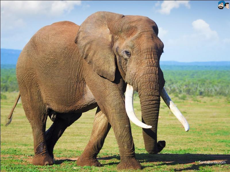 """Comment dit-on """"éléphant"""" en anglais ?"""