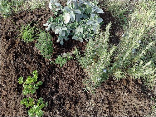 Quelle plante appelle-t-on 'graneto de boudin' en cévenol ?