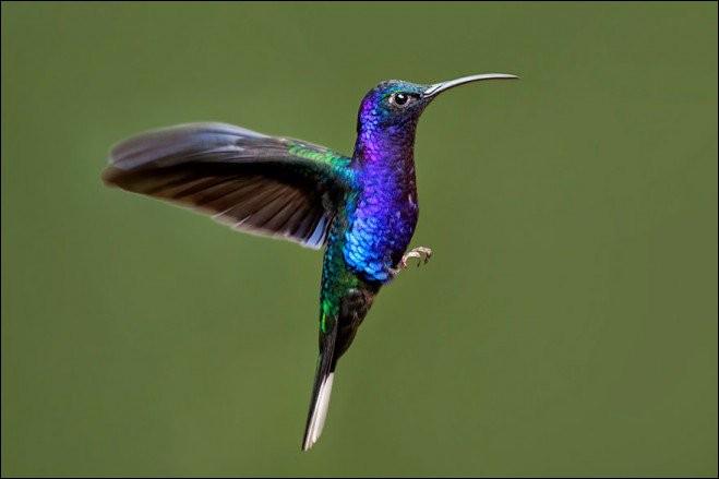 Quelle affirmation est vraie concernant le colibri ?
