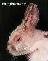 Un lapin vivant à l'intérieur peut attraper le VHD et la myxomatose.