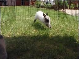 Un lapin peut faire des bonds jusqu'à...