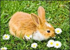 Le lapin est-il un rongeur ?