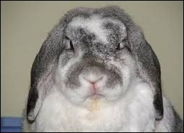 Un lapin peut être agressif...