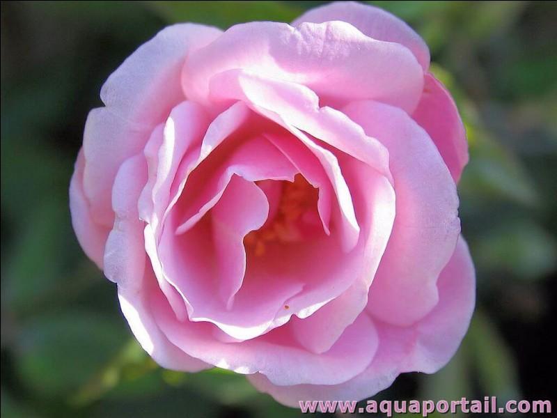 De quelle couleur est la fleur qui permet de soigner la reine?