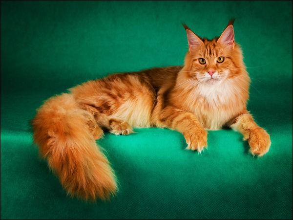"""M - La race de chats """"maine coon"""" est originaire de l'État du Maine aux États-Unis."""