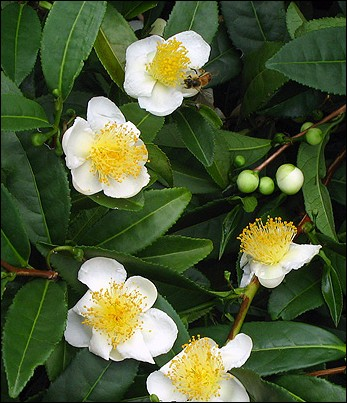 """C - Le """"Camellia sinensis"""" ou théier est cultivé pour ses fleurs qui servent à produire après infusion la célèbre boisson qu'est le thé."""