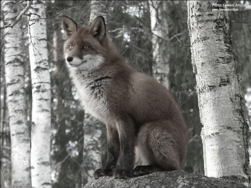 """Dans quelle fable de La Fontaine, le renard dit-il """"Que vous êtes joli, que vous me semblez beau"""" ?"""