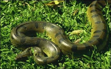 C'est un serpent de légende, sa taille et son poids en ont fait un mastodonte parmi les reptiles. Vous voulez en voir un, c'est faisable, accompagnez-moi ...