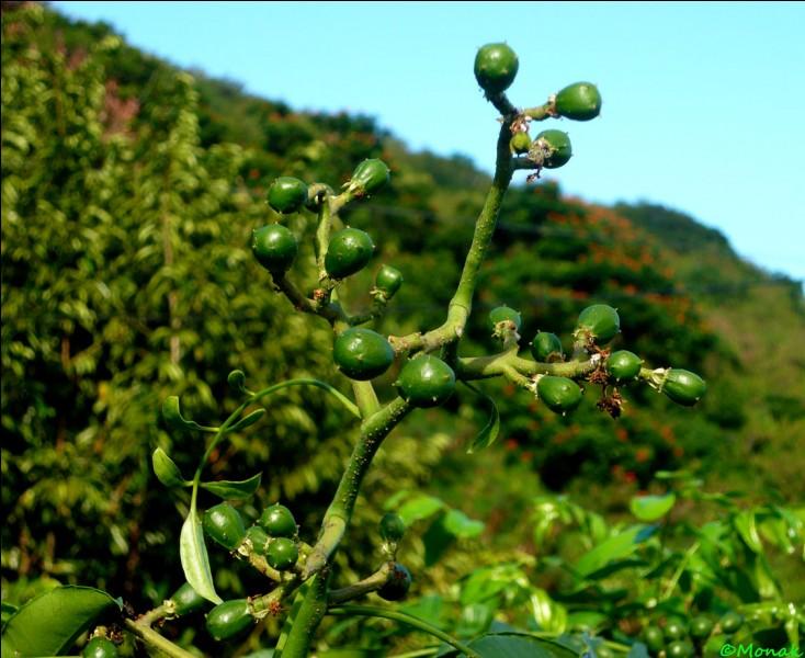 """On l'appelle """"prune de Cythère"""", d'après vous, quel est son continent d'origine ?"""