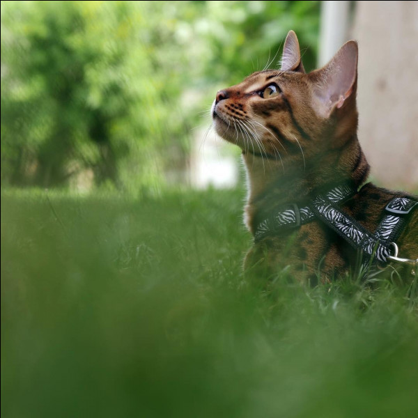 Qui est l'heureux propriétaire d'un chat Savannah nommé Nevada?