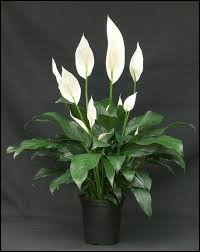 Quelle est la bonne orthographe de cette plante fleurie ?