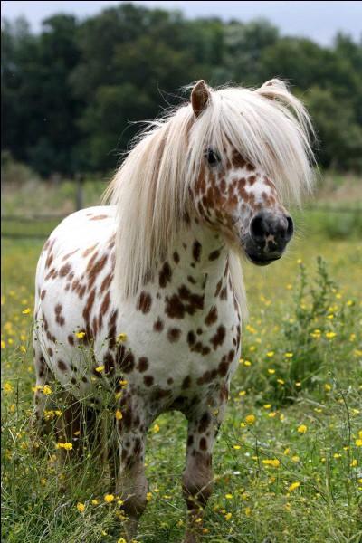 (Animaux) C'est un cheval ou un poney ?