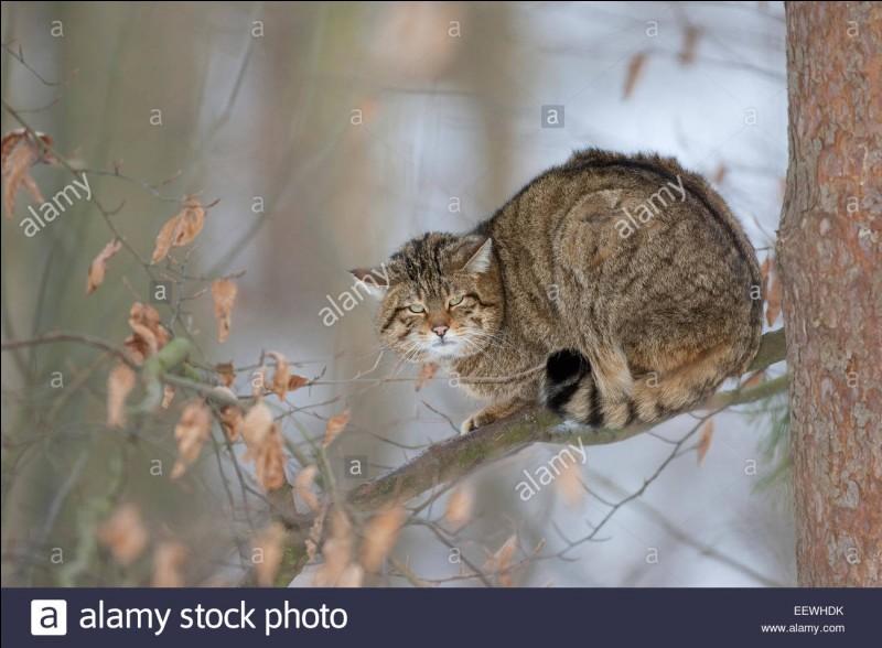 Qu'est qu'un chat haret ?