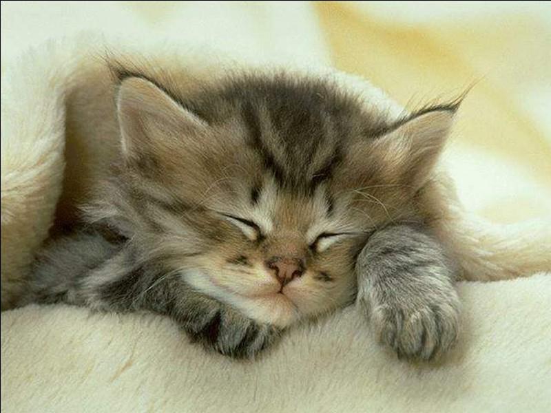 Combien d'heures dort en moyenne un chat quotidiennement ?