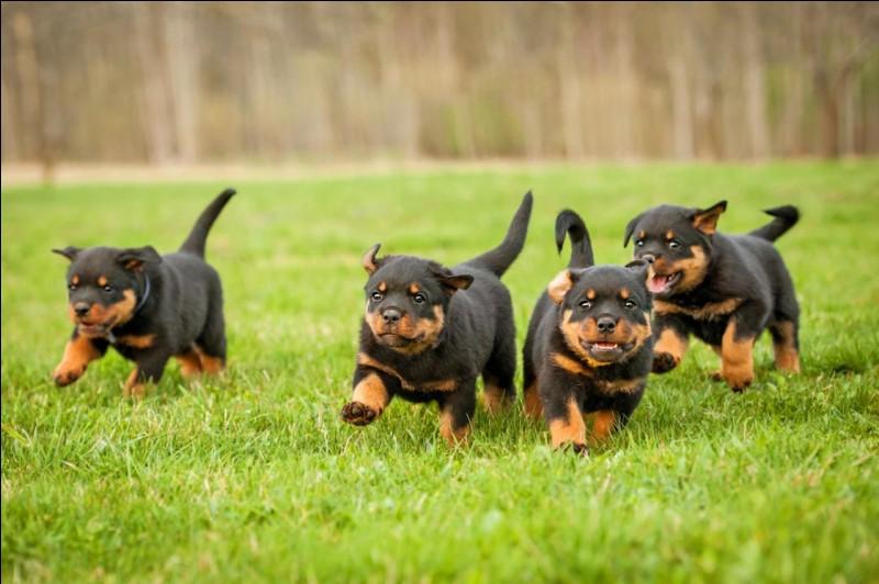 À quelle vitesse peuvent courir les chiens ?