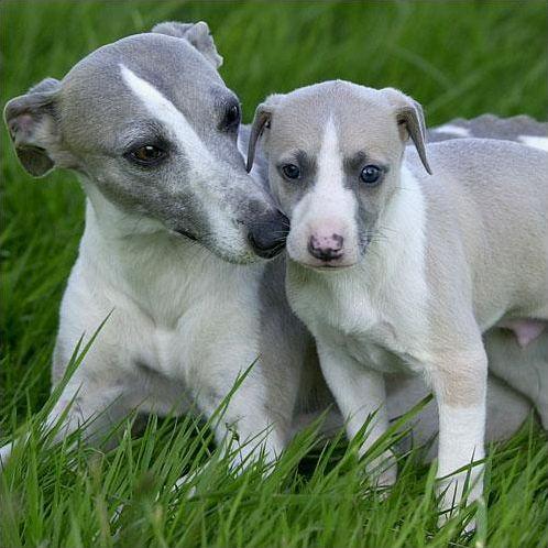 Les races de chiens