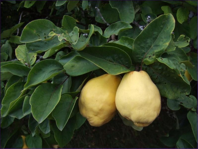 L'arbre produisant des coings est appelé coingnier.