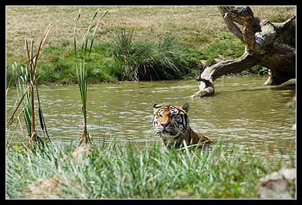 Sur quel continent vit le tigre ?