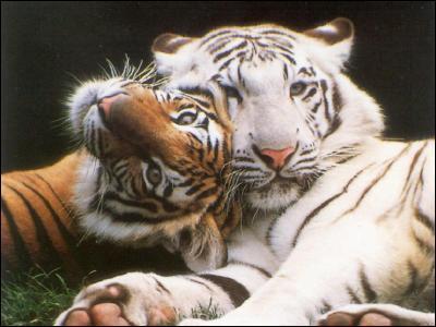 Comment appelle-t-on le tigre blanc ?