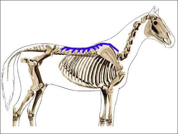 Quel est ce muscle du dos ?