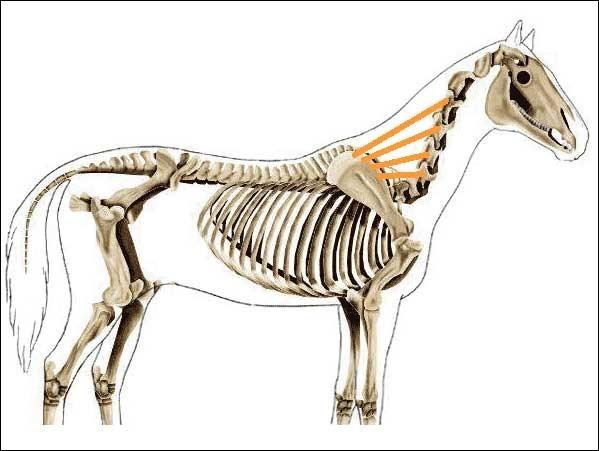 Les muscles du cheval