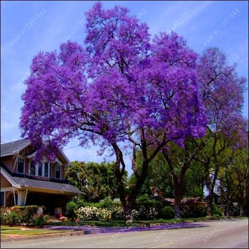 De son vrai nom, il se nomme jacaranda, quel est cet arbre tropical ?
