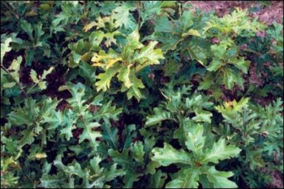 Comment appelle-t-on l'espèce de chêne dont l'écorce sert à teindre en jaune ?