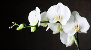 Quelle variété d'orchidée avez-vous sur cette image ?