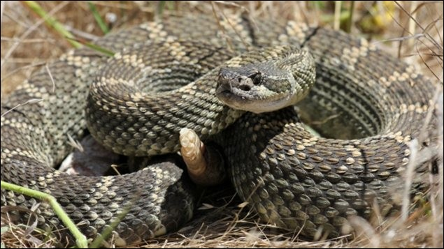 Que peut-on apprendre en comptant le nombre de sonnettes d'un serpent à sonnettes ?