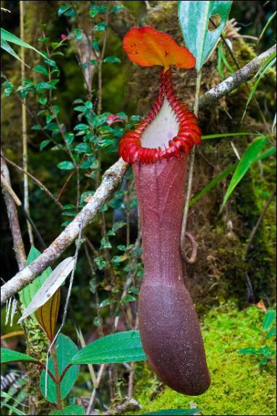 De quelle famille Nepenthaceae est-elle phylogénétiquement la plus proche ?