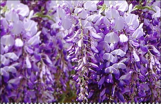 Angiospermes : comment s'appelle cette inflorescence ?
