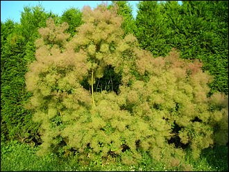 """Ce qu'on appelle un """"arbre à perruques"""" est... un arbre. Vrai ou faux ?"""