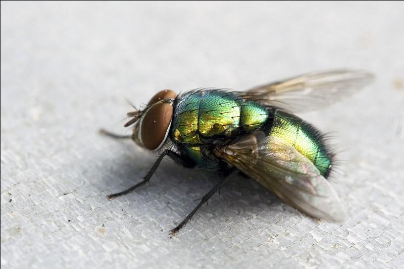 L'Amanite tue-mouches est :