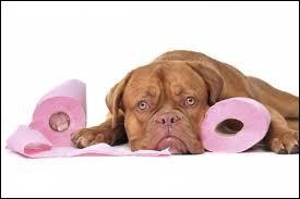 Votre chien a fait ses besoins à l'intérieur de la maison. Vous devez le punir en lui mettant la truffe dans ses déjections.