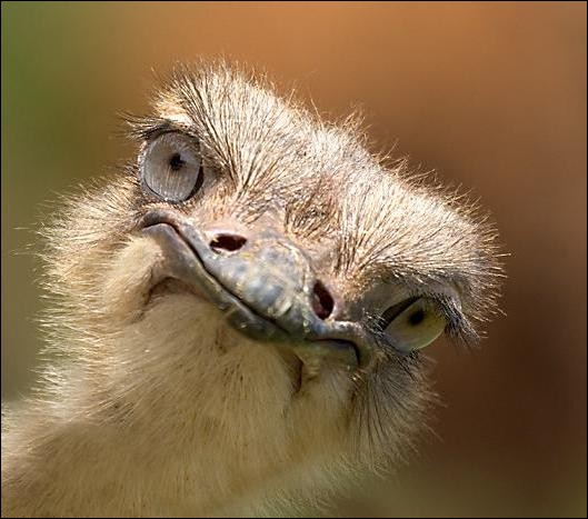 Le cerveau de l'autruche est moins volumineux que son œil.