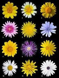 Tournesol, chrysanthème ou gerbera font tous parti de la même famille. Laquelle ?