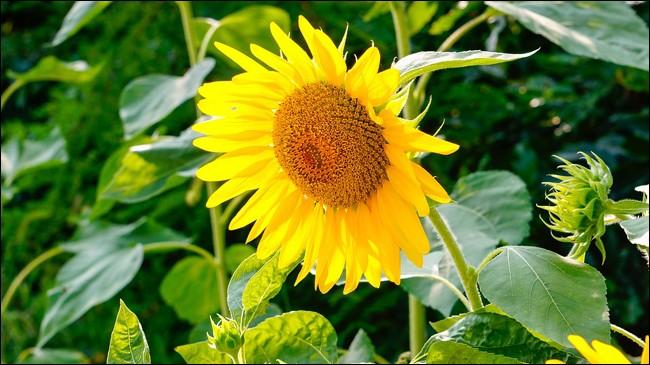 On dit de cette fleur qu'elle suit le soleil.