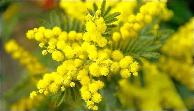 Sa floraison est uniquement jaune.
