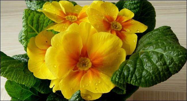 Elle fait partie des premières fleurs du printemps.