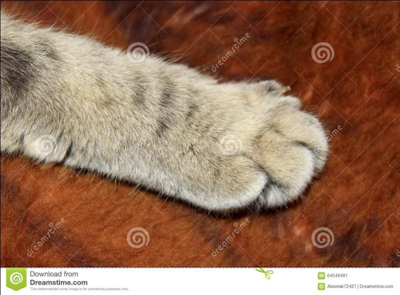 Combien de griffes les chats ont-ils aux pattes avant ?