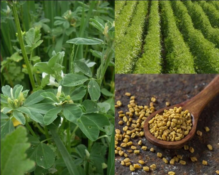 Botanique : Quelle herbacée originaire du Moyen-Orient est utilisée pour ses vertus médicinales, stimulant l'appétit et favorisant la prise de poids?