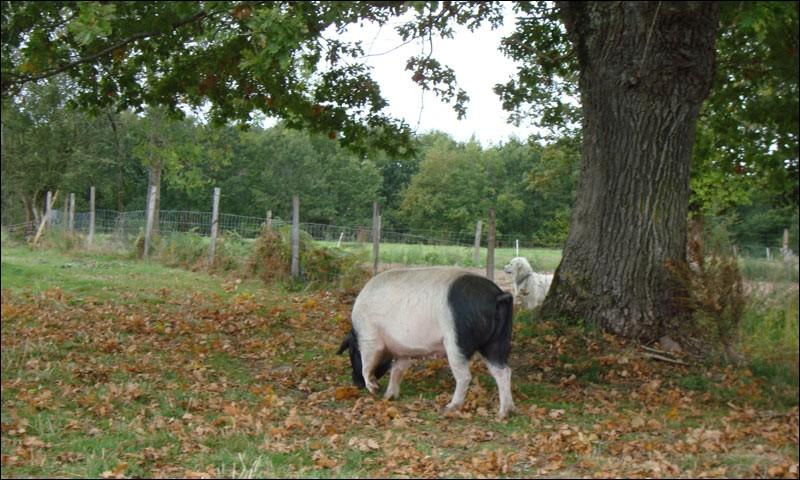 Que sont les culs-noirs du Limousin ?